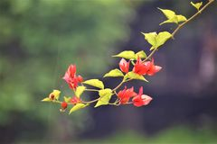 Divine vine. With classic red colour flower stock photos