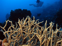 Diving. Coral with diver in the background stock images