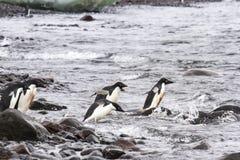 Diving adelie penguins, Paulet Island, Antarctica Stock Photo