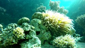 Diving, Aqua Fish of the coral reef. Coral reef. Exotic fishes. The beauty of the underwater world. Life in the ocean. Diving on a tropical reef. Submarine life stock footage