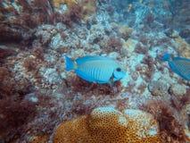 Diving at Arraial do Cabo, Rio de Janeiro, Brazil royalty free stock image