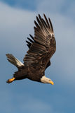 Diving Bald Eagle. A bald eagle dives from the sky with it's wings extended Stock Photos