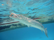Diving with barracudas Royalty Free Stock Image