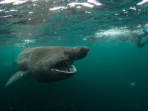 Diving with Basking Shark Stock Photos