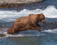 Diving Bear. A bear dives for a salmon at McNeil River falls in Alaska Royalty Free Stock Images