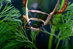 Diving beetle aquatic under water insect pond life Stock Photos