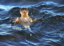 Diving bird common eider in blue water stock photo