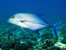 Diving: Bluefin Trevally. Common trevally fish in polynesian ocean Royalty Free Stock Image