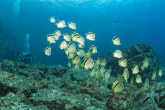 Diving in colorful reef underwater Stock Photo