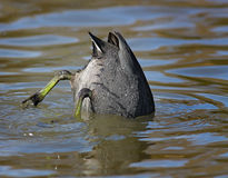 Diving Coot Stock Photo