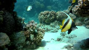 Diving, The corals and fish. Coral reef. Exotic fishes. The beauty of the underwater world. Life in the ocean. Diving on a tropical reef. Submarine life. Clear stock footage