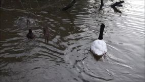 Diving Cygnets. Small cygnets dive and resurface amongst adult black and black-necked swans stock video footage