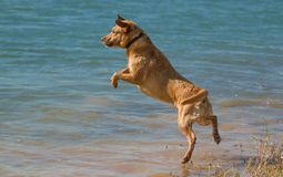 Diving dog Royalty Free Stock Photo