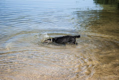 Diving Dog. Dog swimming in lake - head under water Royalty Free Stock Photos