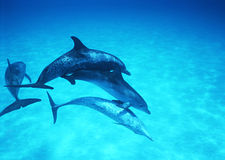 Diving with Dolphins Stock Photography