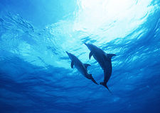 Diving with Dolphins Stock Photo