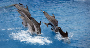 Diving dolphins. Group of trained dolphins diving in the water Stock Photos