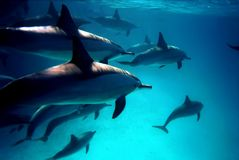 Diving with Dolphins into Red Sea Stock Images