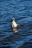 Diving duck. At Big Bear lake, California Royalty Free Stock Image