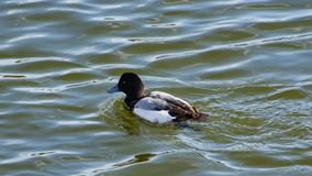 Diving duck Greater scaup or Aythya marila male portrait in river, selective focus, shallow DOF.  royalty free stock images