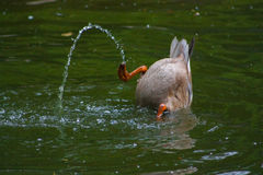 Diving duck in the lake. The duck dives into the lake in search of food Royalty Free Stock Images