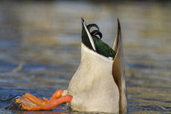 Diving duck Stock Photography
