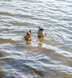 Diving duck. Synchronized diving pair of wild ducks Stock Photo