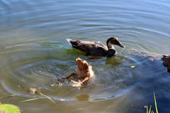 Diving Duckling With Sibling. Beige brown duckling dives under for some dinner while his sibling swims nearby stock image