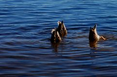 Diving Ducks Royalty Free Stock Photos