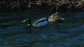 Diving Ducks Couple Looking for Food stock video