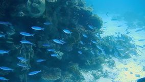 Diving Egypt red sea fish and corals.  stock video footage