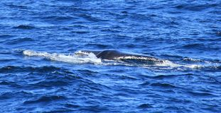 Diving fin of Hump Back Whale Royalty Free Stock Photos