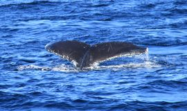 Diving fin of Hump Back Whale Stock Photo