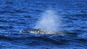 Diving fin of Hump Back Whale Stock Photos