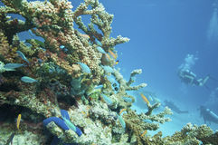 Diving the Great barrier reef Royalty Free Stock Photography