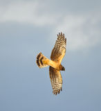Diving Hawk Royalty Free Stock Photos