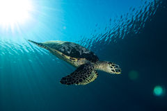 Diving Hawksbill Turtle Royalty Free Stock Photo