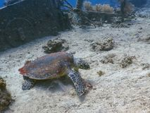 Diving with hawksbill turtle on the seabed stock photo