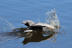 Diving Heron Royalty Free Stock Photos