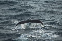 Diving humpback whale Stock Images