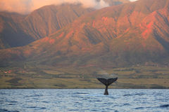 Diving Humpback Whale Fluke. Breaching humpback whale in Maui, HI Stock Image