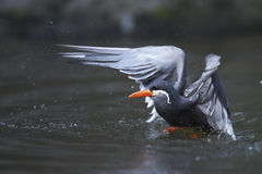 Diving inca tern. Diving and splashing colorful inca tern Royalty Free Stock Image