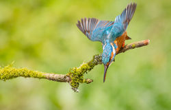 Diving Kingfisher bird Royalty Free Stock Photography