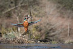 Diving kingfisher with catch stock photos