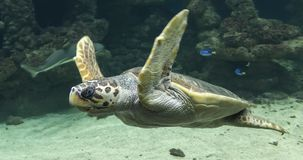 Diving Loggerhead sea turtle royalty free stock image