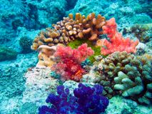 Coral polyps on the reef off the coast of Maldives Royalty Free Stock Image