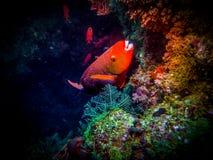 Reef Salmon. Marine life Royalty Free Stock Image