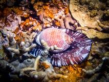 Giant Shellfish. Marine life Stock Photography