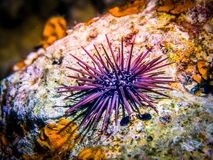 Sea urchin. Marine life Royalty Free Stock Photo