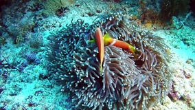 Diving Maldives - Clownfish stock video